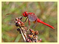 Crocothemis erythraea (PheCrew) Tags: macro nature closeup natura libellulidae soken crocothemiserythraea phecrew unlimitedinsectslevel1