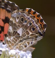 Painted Lady 028.NEF (Henryr10) Tags: vanessa butterfly butterflies papillon borboleta mariposa farfalla schmetterling vlinder paintedlady fieldnotes vanessacardui midsize nymphalidae bmna nymphalinae kapelleke flunnerk