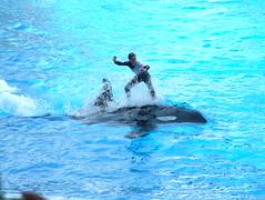 Orca Surfing! (jimmyDog photo's) Tags: world sea orlando surfing whale orca seaworld killerwhale