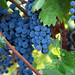 2012 Dilworth Cabernet Harvest 0017