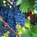 2012 Dilworth Cabernet Harvest 0017