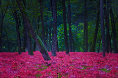 SUMMER FADES AND OCTOBER COMES (ajpscs) Tags: autumn flower japan japanese tokyo nikon amaryllis  nippon  saitama  lycorisradiata spiderlily higanbana d300 koma manjushage  lycoris redspiderlily  kinchakuda  ajpscs  hidakacity lilylikeflowersborne leaflessstalks mygearandme mygearandmepremium mygearandmebronze mygearandmesilver mygearandmegold mygearandmeplatinum