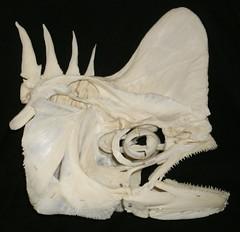 Crâne de Coryphène / DolphinFish Skull (Coryphaena hippurus) (JC-Osteo) Tags: fish skeleton skull bones bone poisson mahimahi dorado crâne dolphinfish squelette osteology coryphène coryphaena coryphaenahippurus ostéologie