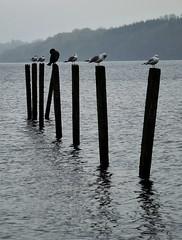 Perched (Eff Bee) Tags: wood seagulls lake reflection water weather birds dark scotland gloomy hill perched cormorant loch lochlomond