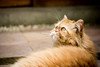 Mina looking up (losacchi) Tags: brazil orange pet cats white cute nature animal yellow brasil cat canon fur 50mm persian eyes kitten feline saopaulo tabby kitty gato flickraward flickraward5 flickrawardgallery