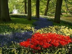 Dutch Tulips, Keukenhof Gardens, Holland - 0686 (HereIsTom) Tags: travel flowers flower holland nature netherlands dutch garden spring europe colours tulips sony cybershot olympus tulip bloom keukenhof webshots e500 f505
