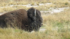 Another close-up (JJP in CRW) Tags: wildlife yellowstone wyoming nationalparks bison