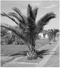 Date Palms (Torquay Palms) Tags: torquay torbay tor bay the english riviera south devon devons beautiful westcountry west country uk united kingdom gb great britain england torre marine canary island date palms phoenix canariensis pcanariensis palmera canaria canon eos m ef 22mm