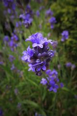 lavender 1 (ajtodd1) Tags: lavender garden purple natural nature plant flower