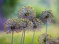 _5D35902_12x16 (dendrimermeister) Tags: closeup flora radii spherical