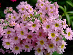 Poison primrose (yewchan) Tags: flower flowers garden gardening blooms blossoms nature beauty beautiful colours colors flora vibrant lovely closeup primose primula poisonprimrose