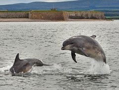 Dolphins Playing Chase (richbriggs28. Love being a grandad :)) Tags: fortgeorge morayfirth blackisle bottlenosedolphin dolphin breaching richbriggs28 rosemarkie fortrose trips avoch dolphintripsavoch