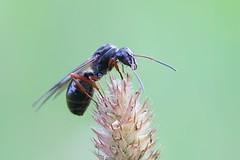 Lentomuurahainen - Ant (Henri Koskinen) Tags: ant muurahainen pistiinen virtasalmi 04082016 finland