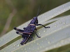 Lubber Grasshopper (bamboosage) Tags: germany m42 100 28 meyer preset optik gorlitz trioplan