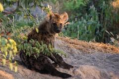 Hyena (Juvenile) Relaxing (Barbara Evans 7) Tags: hyena juvenile khwai community area botswana barbara evans7