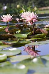 pink water lilies (Lucie Maru) Tags: flowers flower summerflower plant plants garden waterlilies waterlily pond flowersonpond float floating onwater blooming blooms tranquil