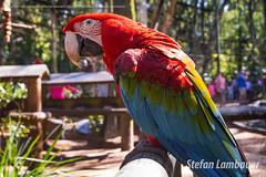 Arara-vermelha (Stefan Lambauer) Tags: fozdoigua arara araravermelha bird parquedasaves birds tourism turismo parquenacionaldoigua stefanlambauer 2016 brasil brazil paran br