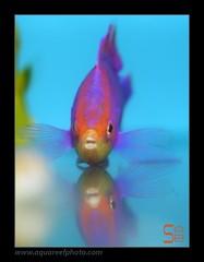 AMBpseudanthias-tuka-male4292_190314 (kactusficus) Tags: aquarium reef trade marine pseudanthias tuka anthias anthiinae serranidae pink male