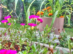 FaceTime close (74prof) Tags: facetime ipod flowers hdr