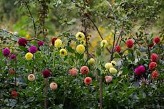 untitled (robwiddowson) Tags: dahlias flowers garden allotment photo photograph photography image picture robertwiddowson art