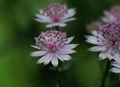 dancers (Suzanne's stream) Tags: flowers blumen pink blhen blooming