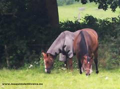 Horses, Wiesens (Aurich), Germany (Mr. Quim) Tags: germany deutschland nature natureza animais animals mr quim joaquim de oliveira canon 700d alemanha wiesens aurich ostfriesland joaquimdeoliveiraeu horses cavalos pferde
