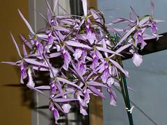 Encyclia adenocaula species orchid 7-16 (nolehace) Tags: summer nolehace sanfrancisco fz1000 716 flower bloom plant encyclia adenocaula species orchid