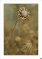 Estrenando luces (V- strom) Tags: nikon naturaleza 2470 luz texturas flora flor cardo
