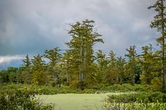 Buttonbush Swamp (Jeremy Schumacher) Tags: cypress swamp tupelo buttonbush cache river landscape nikon d5000