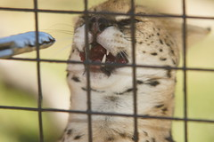 059_Great Cats Park_Serval Being Fed (steveAK) Tags: greatcatsworldpark serval