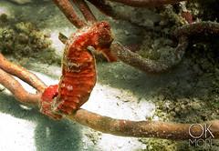 Caballito de luz (Ok More Photos) Tags: red sea water mexico travel ocean animal sand seascape fish wildlife underwater dive coral yucatan caribbean scuba reef uw seahorse cozumel