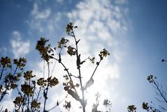 L1008146c (haru__q) Tags: leica m8 leitz summaron field mustard  sky   cloud