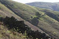 Greenhead Gill path to Stone Arthur, above Grasmere, Lake District National Park, Cumbria, UK (Ministry) Tags: greenheadgill grasmere lakedistrict nationalpark cumbria uk stonearthur heronpike northtop rydalfell tree drystonewall bracken path fern gully hill dry stone wall spring