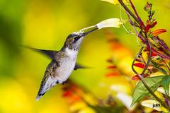 Ruby-throated Hummingbird (jt893x) Tags: 150600mm archilochuscolubris bif bird d500 hummingbird jt893x nikon nikond500 rubythroatedhummingbird sigma sigma150600mmf563dgoshsms pollination specanimal