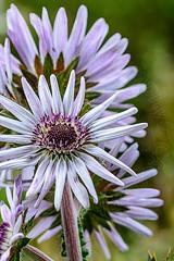 Berkheya Purpurea (CAscotPhotography) Tags: cascotphotography closeup flower flowers plant plants purple nature garden wildlife savillgarden windsorgreatpark nikon d7100 dof depthoffield