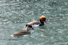 Nettes rousses_Netta rufina (nicphor) Tags: bird canard palmipdes anatidae nature faune lac eau tang