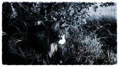dangerous eyes.. (FINDUSFELIX) Tags: catmoments felix cat kitty kat maine coon
