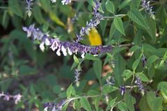 IMG_5396 (armadil) Tags: ucsantacruz ucscarboretum ucsantacruzarboretum flower flowers