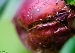 Slashed (PhilR1000) Tags: nationaltrust greyscourt rotten fruit food plum