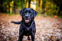 Maggie (pyathia) Tags: trees dog pet black fall leaves animal outdoors mixed woods labrador bokeh mcgee large rottweiler maggie blackdog mixbreed largebreed largedog macgee highqualitydogs
