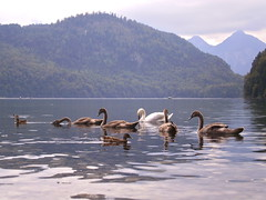 Swans in Schwangau (Beatriz Abelenda) Tags: lake alps animal alpes germany lago bayern deutschland bavaria swan paisaje olympus views alemania schwan cisne hohenschwangau baviera schwangau