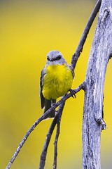 Yellow on Yellow (Callocephalon Photography) Tags: bird robin nsw griffith passeriformes easternyellowrobin petroicidae eopsaltriaaustralis cocoparranp centralnsw