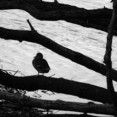 Rastplatz (claudiarndt) Tags: bw backlight duck sw ente gegenlicht