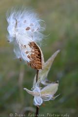 Milkweed near the High Peaks (diana_robinson) Tags: fall adirondacks autumnleaves milkweed lakeplacid nikond4 dianarobinson