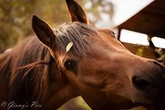 Im Herbstkleid (bine77) Tags: horse fall nature tiere availablelight herbst natur pferd stallion hengst