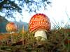 Fly Agaric fungi (DianneB 2007.) Tags: mushrooms fungi sherdleypark