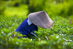 Working the flower fields (huetopia) Tags: bali indonesia 200mm flowerfield f28l conicalhat