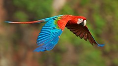 Red-and-green Macaw (Ara chloroptera) in flight (PeterQQ2009) Tags: brazil birds flight redandgreenmacaw arachloroptera arachloropterus buracodasararas
