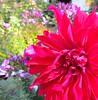 pink beauty (saudades1000) Tags: flower garden flor jardim darkpink rosachoque