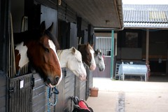 Inquisitive (cr0ssedstirrups) Tags: horses horse barn yard grey paint coloured stable skewbald